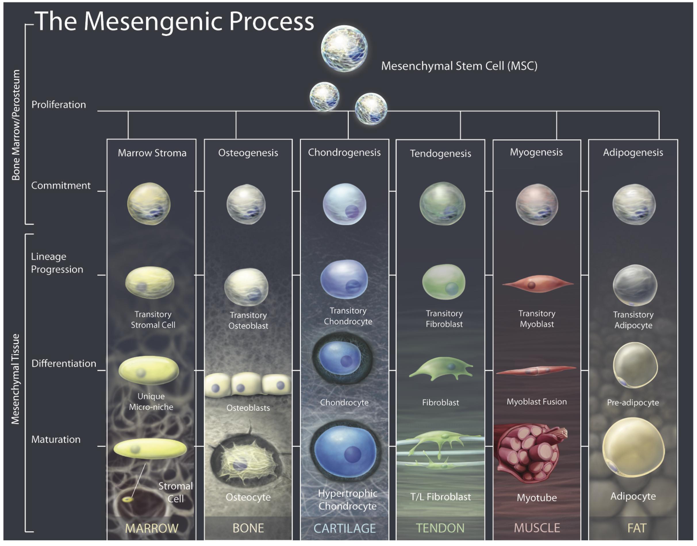 Stem Cell 101 Stem Cell Gurus